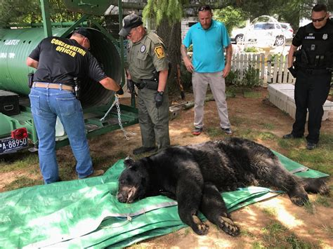 550-pound black bear, largest ever recorded in Lancaster