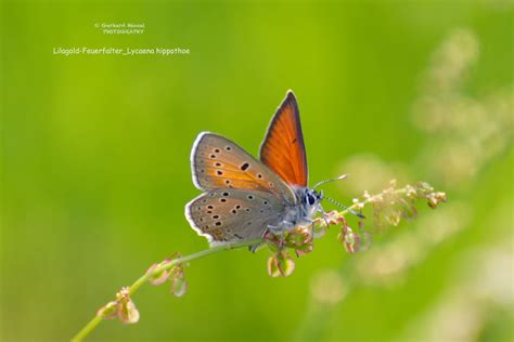 043_Lilagold-Feuerfalter_Lycaena-hippothoe_012 – Trauntal