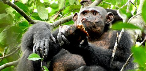 Chimpanzees spotted smashing open and eating tortoises for